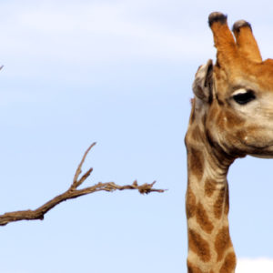 Seit den achtziger Jahren hat Burgers' Zoo in den Niederlanden Tiere und Pflanzen aus fernen Regionen. Antoon van Hooff, Vertreter der dritten Unternehmergeneration, musste dadurch in der Gestaltung des Tierparks umdenken. Foto: Johannes Sill